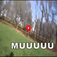 Vaca perturbada atacou o homem com a câmera 1