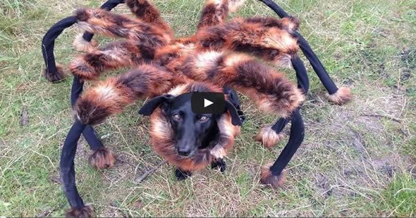Pegadinha: Cachorro aranha 8