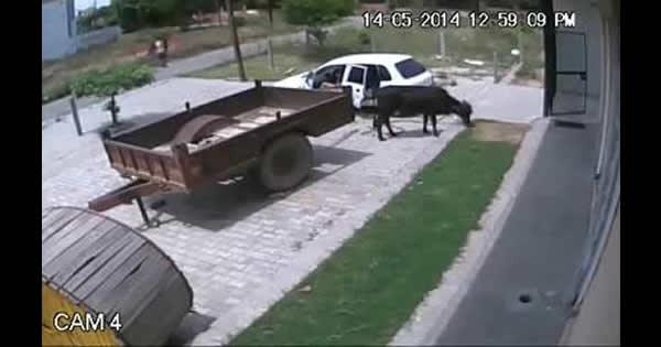 Aprenda com os Russos de um jeito bizarro de roubar uma vaca 1