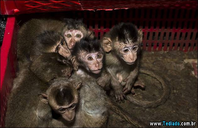 Long-tailed macaque babies are pictured inside a basket as police seized a truck smuggling them from Vietnam to China, in Changsha