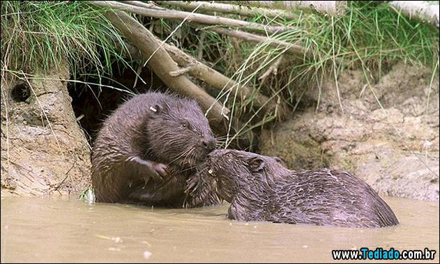 Beavers making countryside comeback