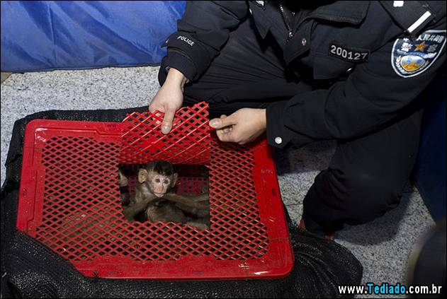 Long-tailed macaque babies are seen inside a basket as police seized a truck smuggling them from Vietnam to China, in Changsha