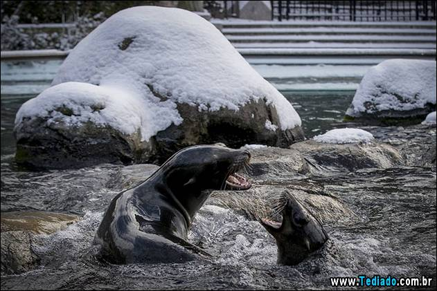 Two California Sea Lions play in the pool at New York's Central Park Zoo following an early morning snowfall