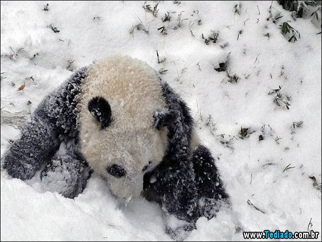 Sixteen-month-old Giant panda cub Bao Bao plays in the snow at the Smithsonian's National Zoo in Washington