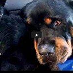 Rottweiler chora a morte do seu irmão