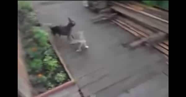 Como treinar seu cachorro para levar o gato pra dentro de casa 2