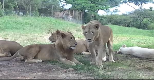 Leão abre porta do carro com os dentes durante safári 31