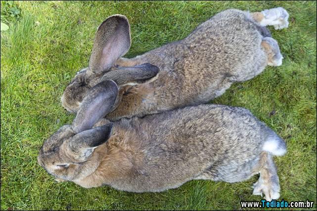 maior-coelho-do-mundo-030