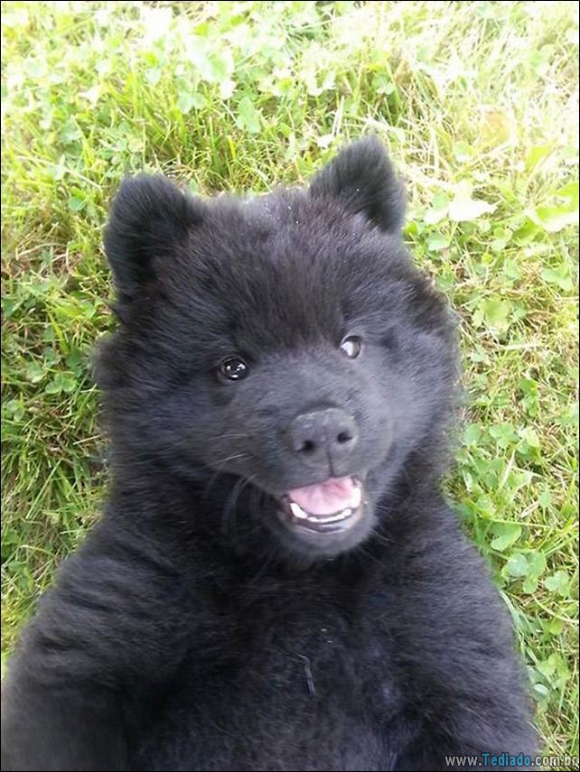 cachorros-que-se-parecem-com-ursos-05