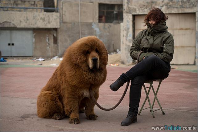 cachorros-que-se-parecem-com-ursos-07