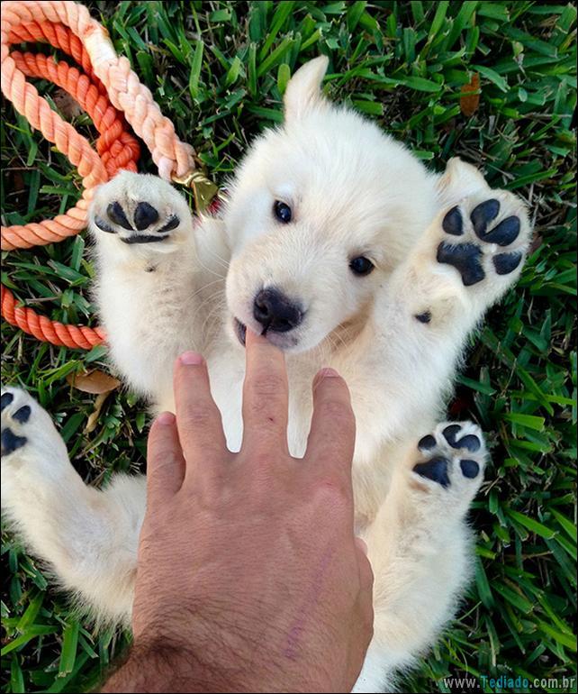 cachorros-que-se-parecem-com-ursos-08
