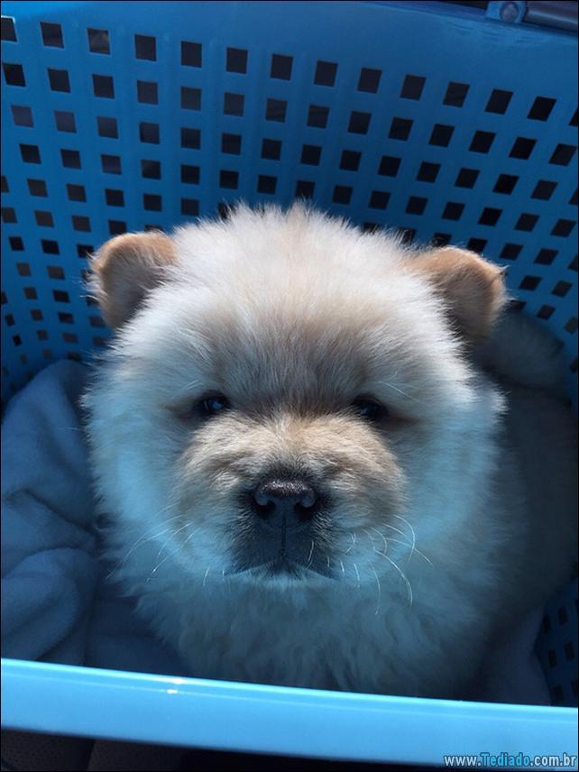 cachorros-que-se-parecem-com-ursos-09