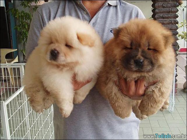 cachorros-que-se-parecem-com-ursos-10