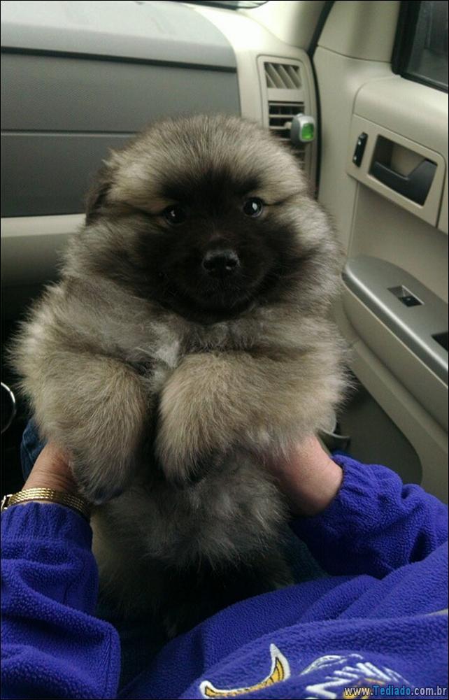 cachorros-que-se-parecem-com-ursos-12
