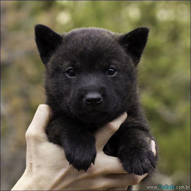 cachorros-que-se-parecem-com-ursos-14