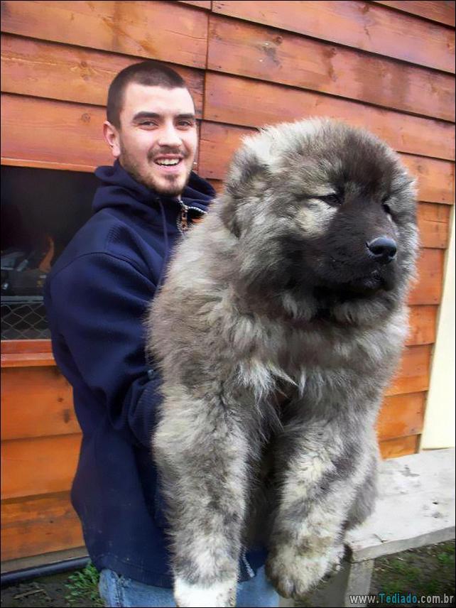 cachorros-que-se-parecem-com-ursos-15