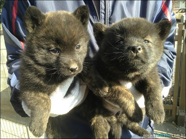 cachorros-que-se-parecem-com-ursos-17