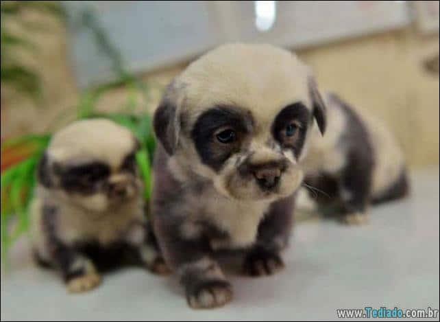 cachorros-que-se-parecem-com-ursos-21