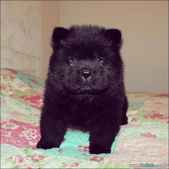 cachorros-que-se-parecem-com-ursos-22