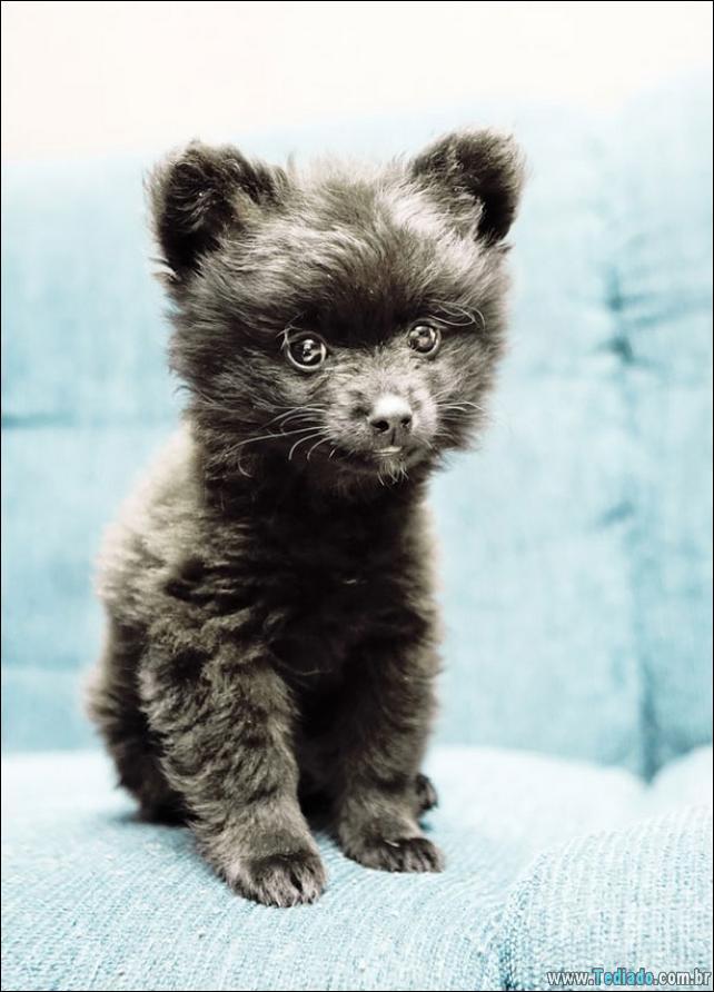 cachorros-que-se-parecem-com-ursos-23
