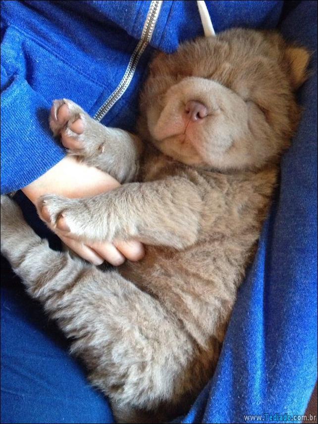 cachorros-que-se-parecem-com-ursos-24