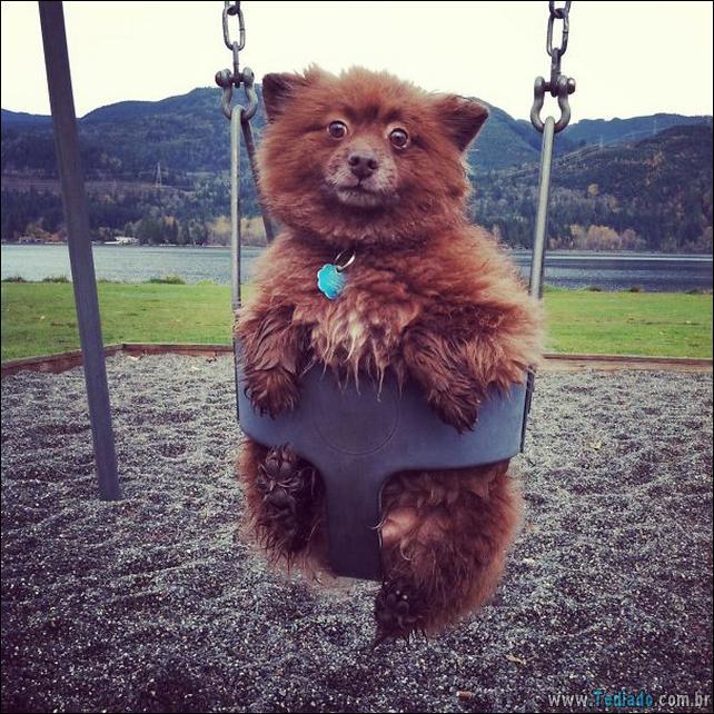 cachorros-que-se-parecem-com-ursos-25