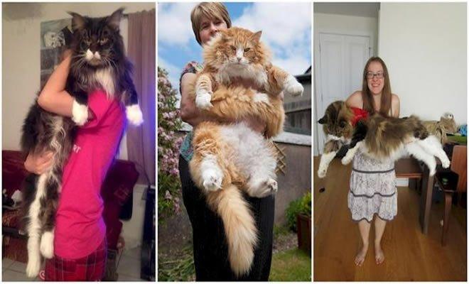 16 gatos grandes, que não parecem ser animais de estimação 6