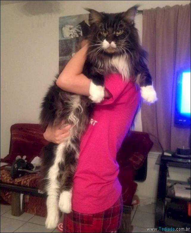 gatos-grandes-05