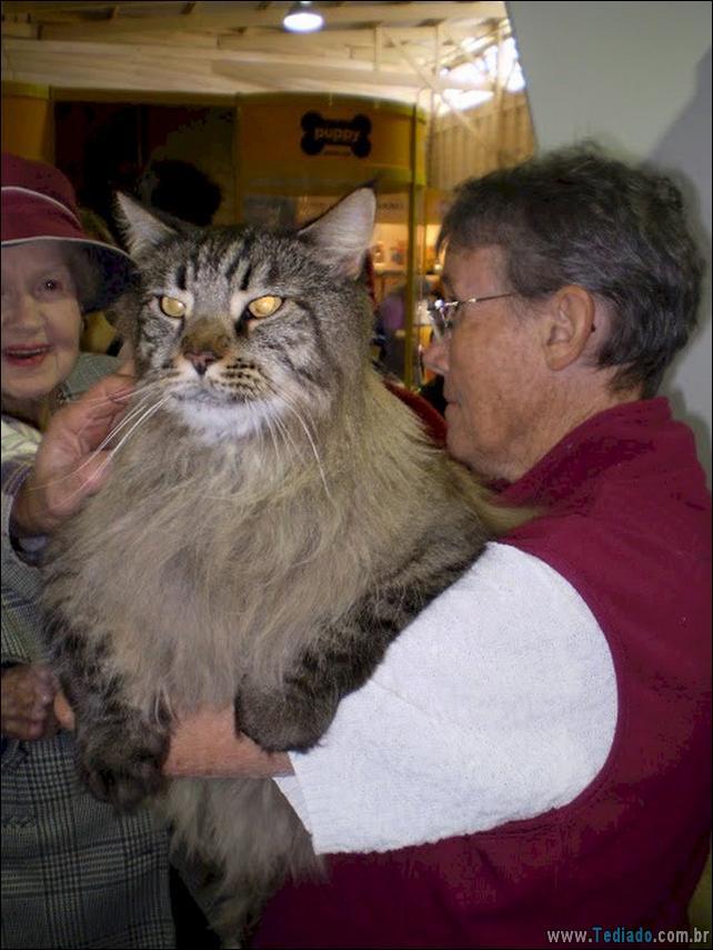 gatos-grandes-13