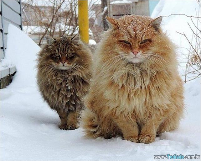 gatos-grandes-14
