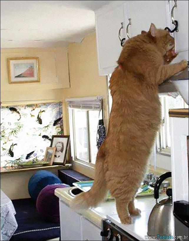 gatos-grandes-16