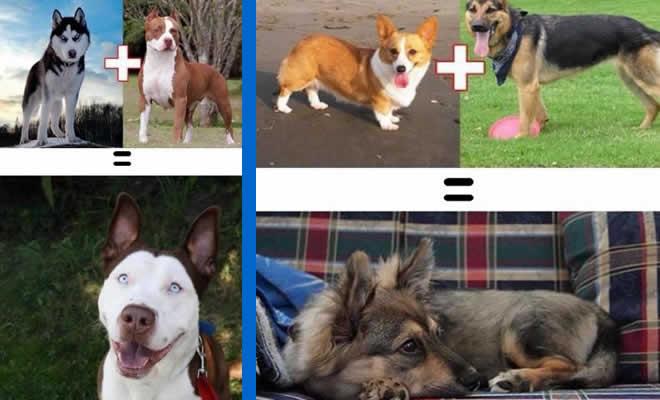 O resultado do amor de cães com raças diferentes (10 fotos) 8
