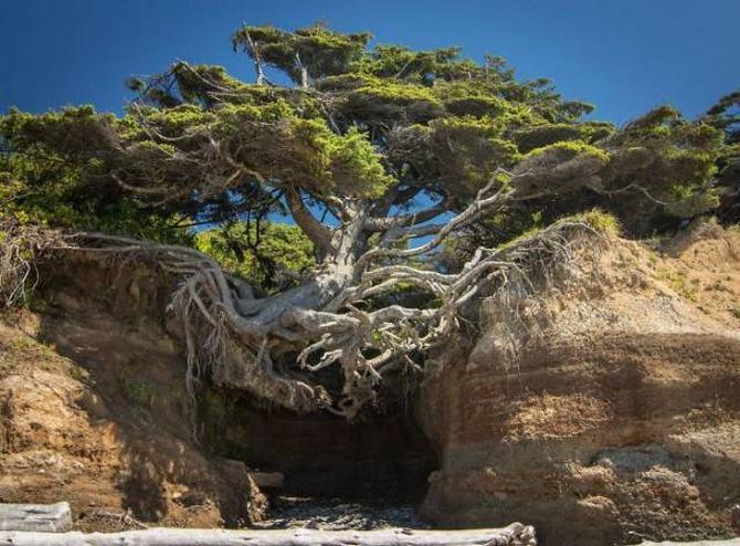 30 árvores que se recusam a morrer, não importa o que acontece 8