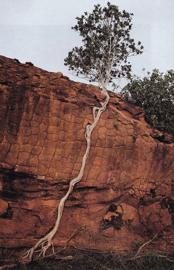 30 árvores que se recusam a morrer, não importa o que acontece 12