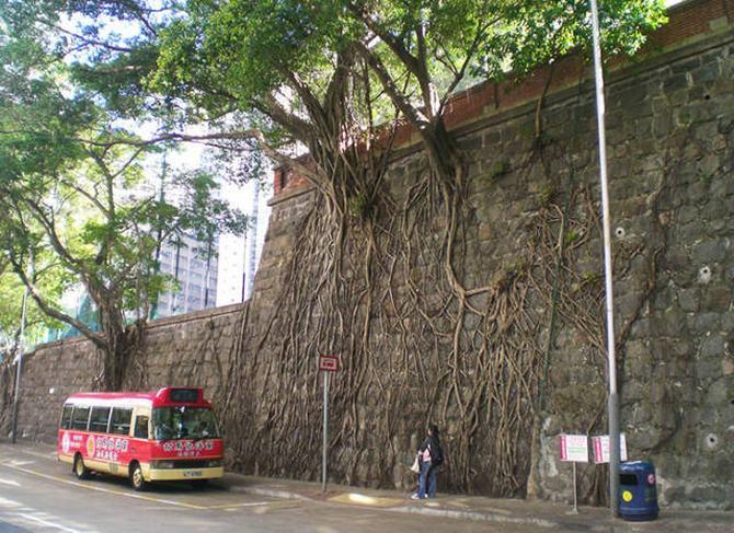 30 árvores que se recusam a morrer, não importa o que acontece 30