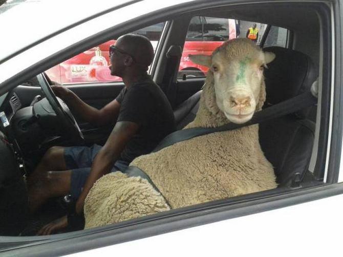 Como eles conseguem suas licenças de condução ?! (36 fotos) 20