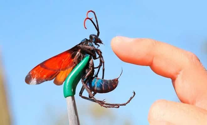 10 ferroadas de insetos mais dolorosas do mundo 12