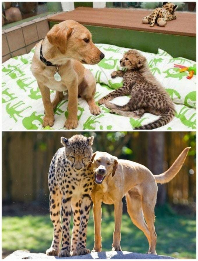 14 amizades animais incomuns que poderiam derreter o coração de qualquer pessoa 7