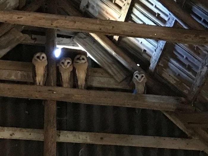Um amigo meu tinha essa família de corujas em seu celeiro