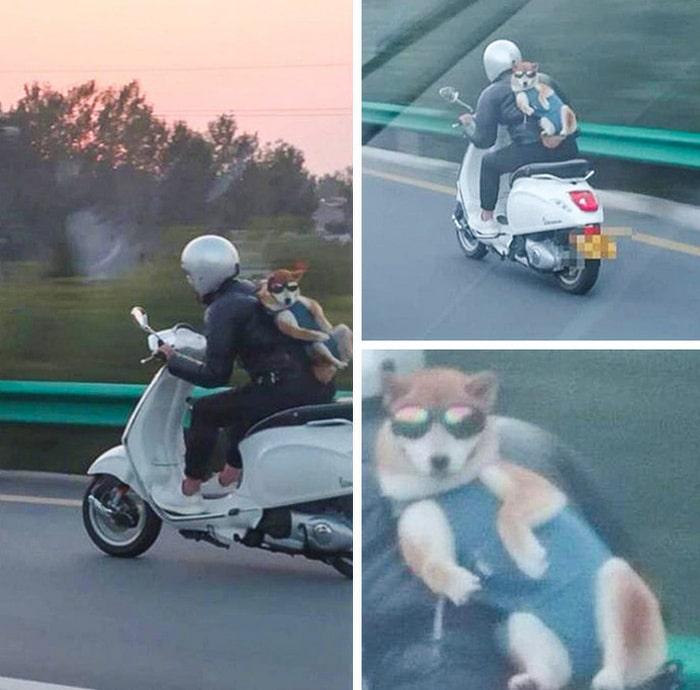 Esse cachorro é tão legal que ele tem um motorista pessoal