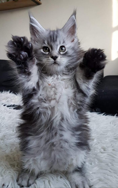 25 fotos de gatos maine coon que são super majestosos e fofos 3