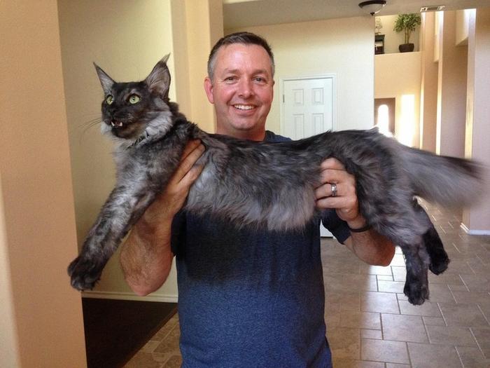 25 fotos de gatos maine coon que são super majestosos e fofos 4