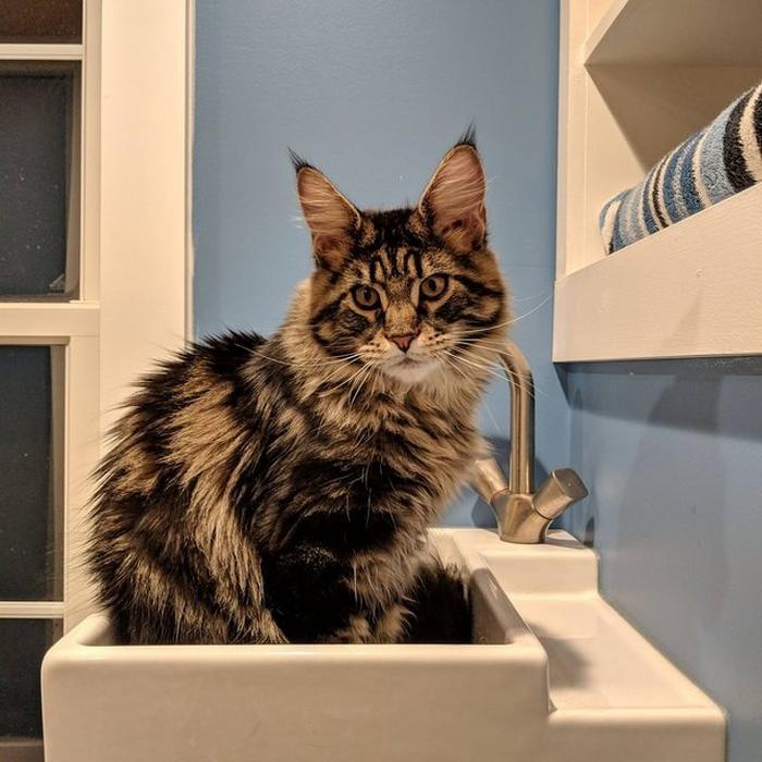 25 fotos de gatos maine coon que são super majestosos e fofos 6