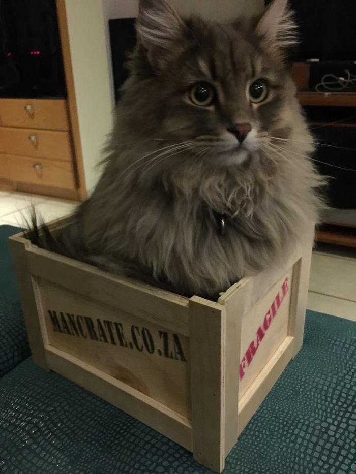 25 fotos de gatos maine coon que são super majestosos e fofos 8