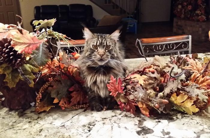 25 fotos de gatos maine coon que são super majestosos e fofos 12
