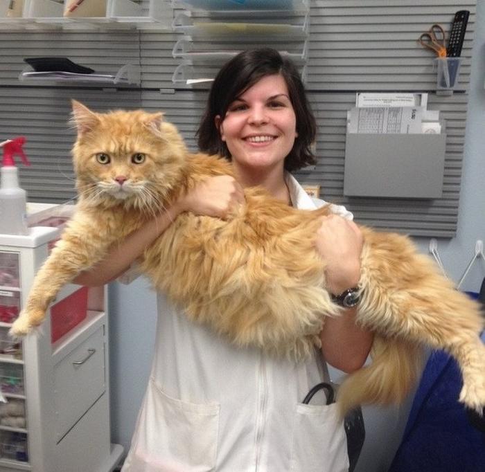 25 fotos de gatos maine coon que são super majestosos e fofos 13