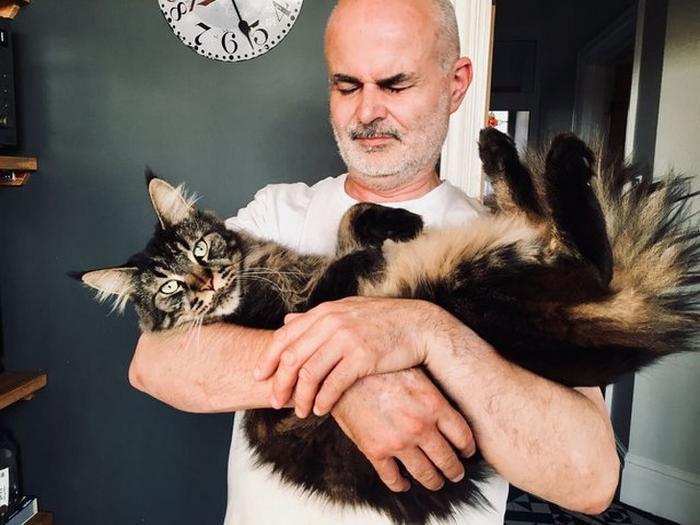25 fotos de gatos maine coon que são super majestosos e fofos 16