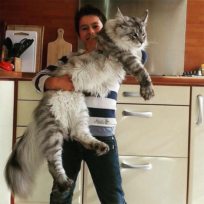 25 fotos de gatos maine coon que são super majestosos e fofos 18