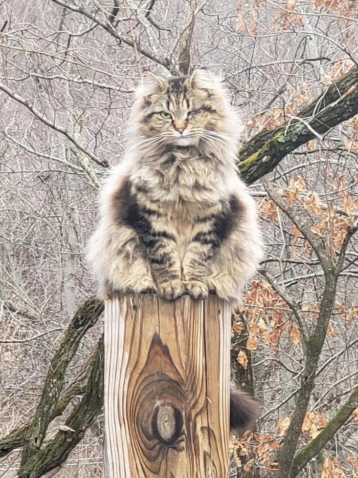25 fotos de gatos maine coon que são super majestosos e fofos 19