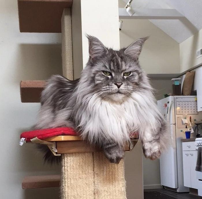 25 fotos de gatos maine coon que são super majestosos e fofos 21